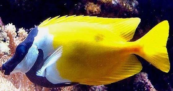 Le Siganus Vulpinus ou poisson-lapin !