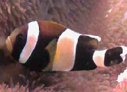 Amphiprion latezonatus
