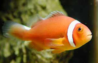Amphiprion thiellei