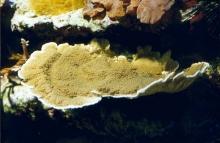 Les coraux durs