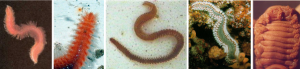 Hermodice carunculata
